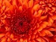 chrysanthemum_1435149390.jpg -