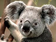 koala_1433334701.jpg -