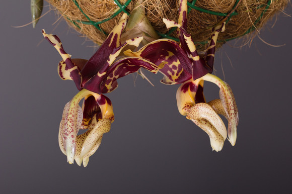 clanky4/VystavaorchidejiStanhopeatigrinanigroviolacea.jpg