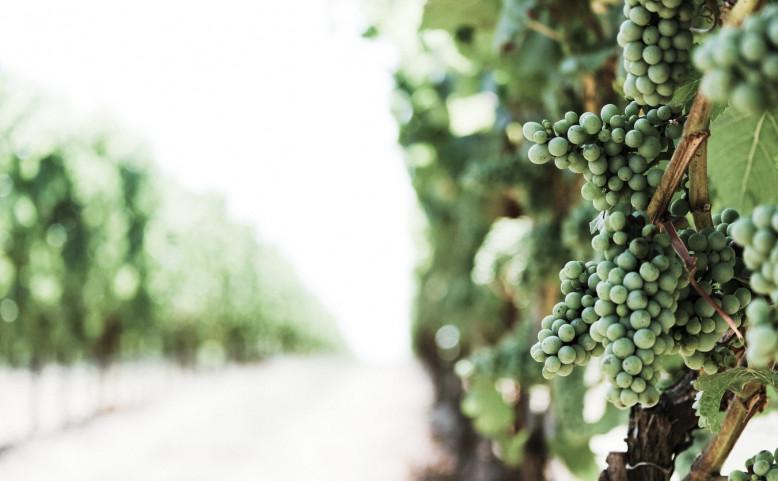 Vysočanské vinobraní na Máchalka