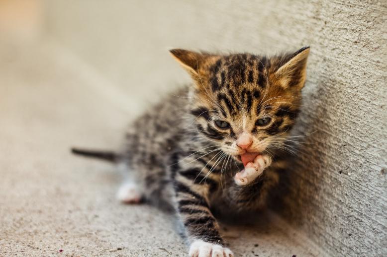 Popletené koťátko