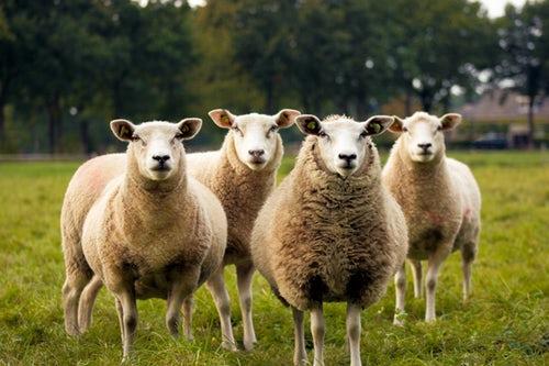 Ovcí se nerodíš, ovcí se stáváš.